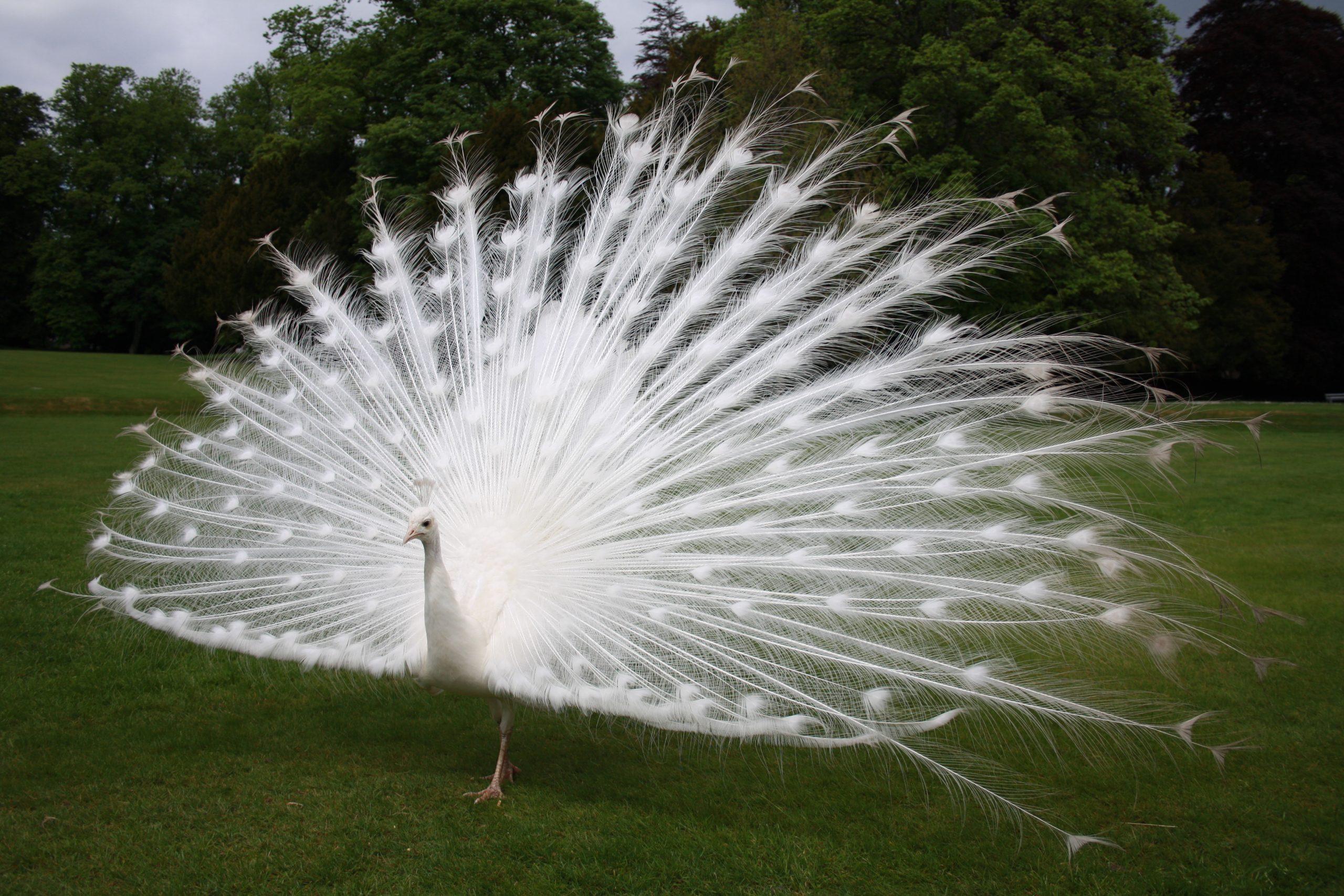 طاووس لدية طفرة لوسية