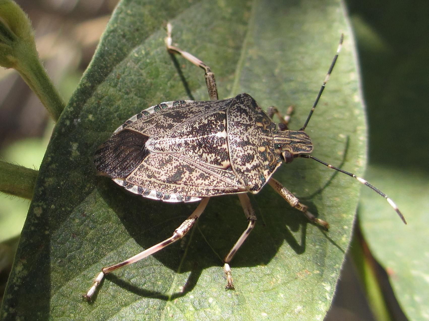 حشرة البق النتن