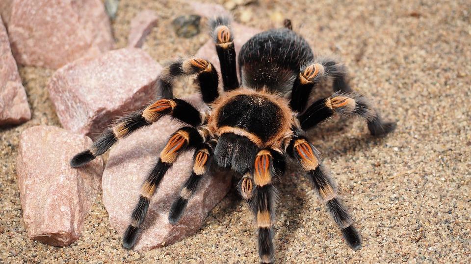 عنكبوت الرتيلاء